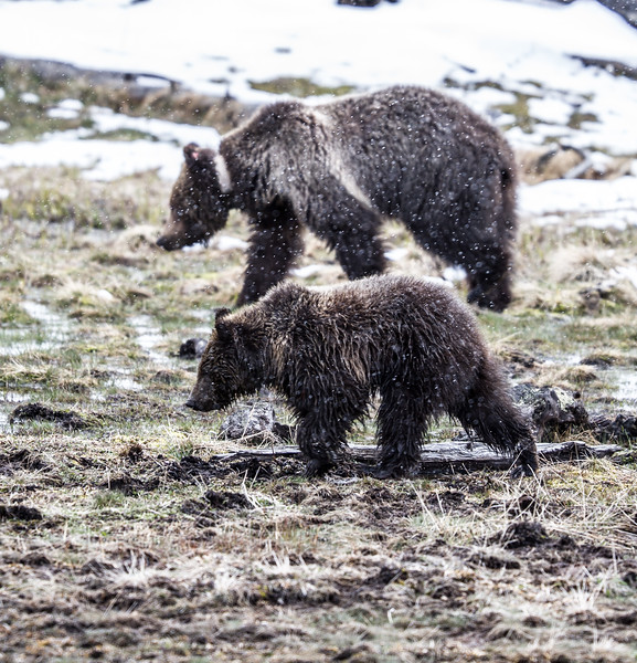 Grizzly sow and cub Yellowstone National Park WY IMG_0571.jpg