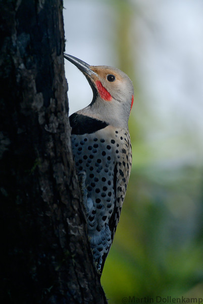 Northern Red Shafted Flicker Intergrades have the markings of a yellow shafted and red shafted.
