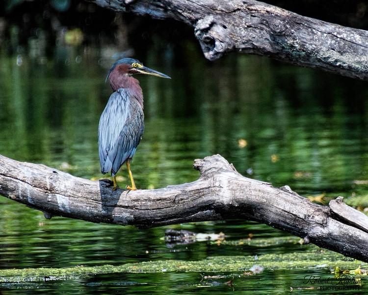 Green Heron-0791.jpg