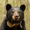 Image of Jewel taken May 2013.  Jewel was born in 2009.  Ursus americanus (American Black Bear).