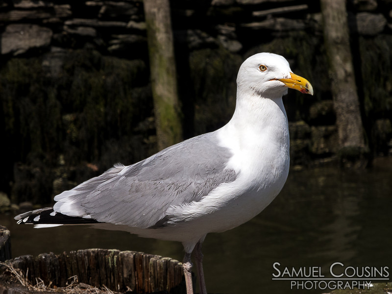 Getting an angry look from a herring gull.