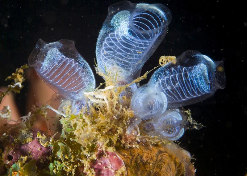 tunicates (1).jpg