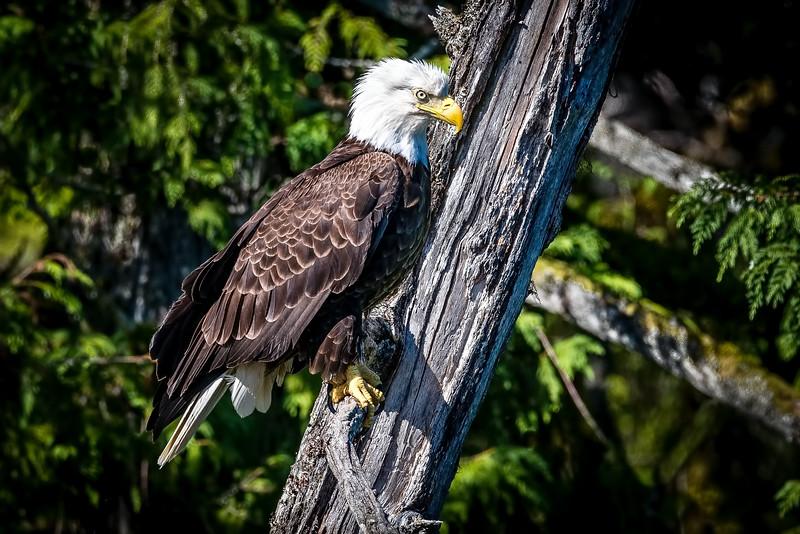 DSC 7984 eagle tree.jpg