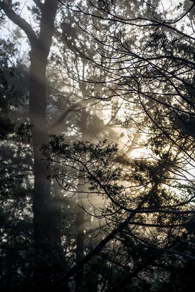 Sunrise-Fog-ThroughPines7