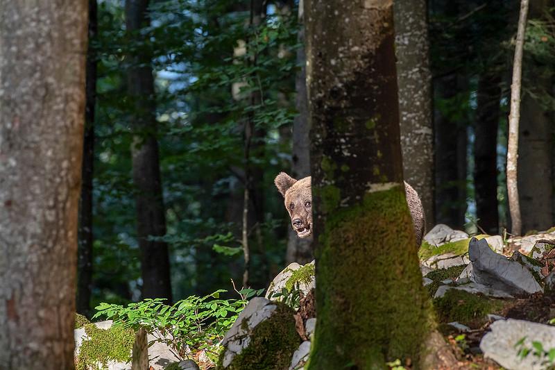 Braunbär hinter Baum.jpg