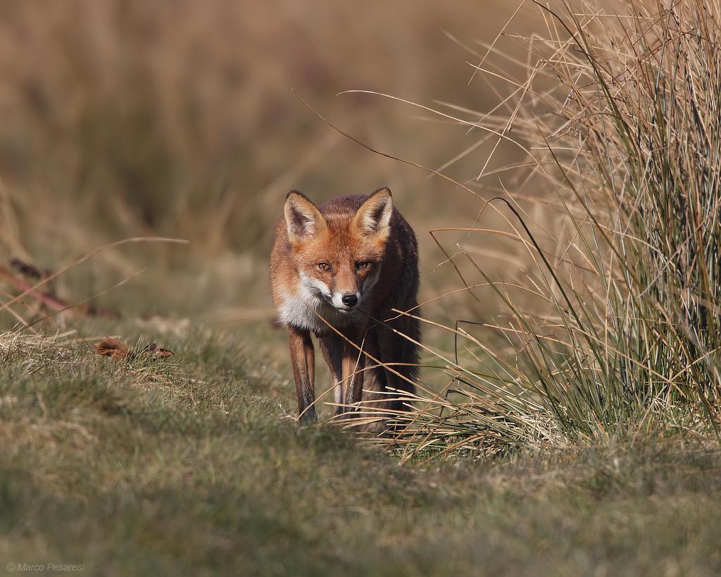 5. Red Fox