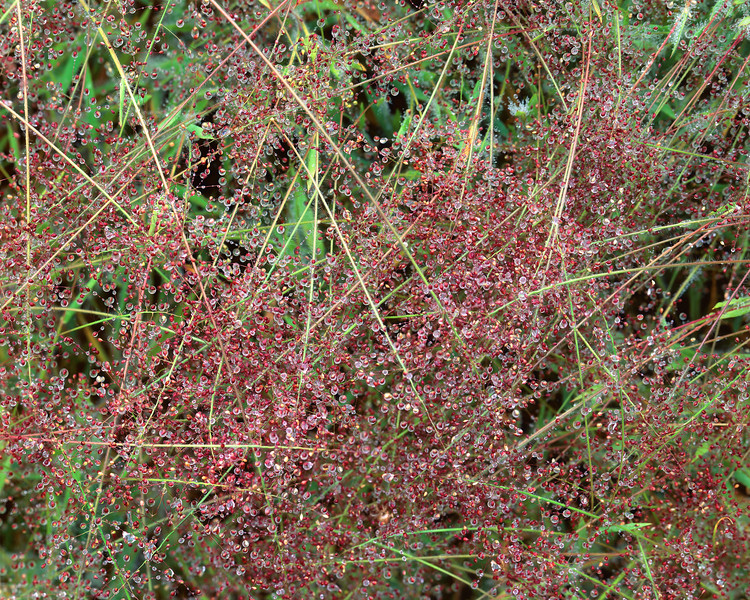 Grass with Red Dew