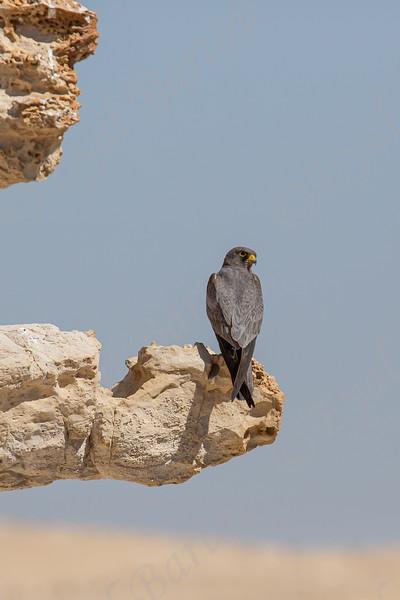 17. Sooty Falcon (Falco concolor) - בז שחור