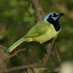 birds-mean-bucks-in-south-texas