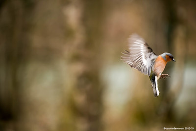 Chaffinches - Set 3