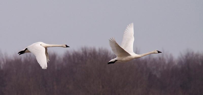 2011 swan migration aylmer (35 of 51).jpg