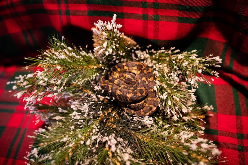 ChristmasSnakes19_0008.jpg