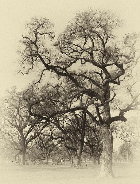 old tree.jpg