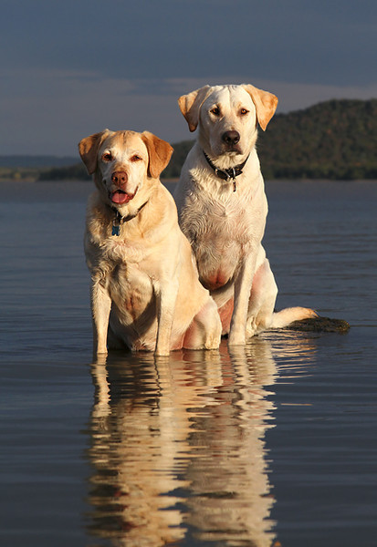 Labs On A Rock.jpg