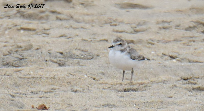 Snowy Plover (juvenile?) - 8/27/2017 - Tijuana River Mouth