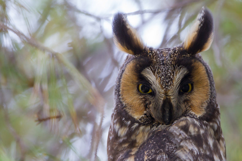 Long-eared Owl - USA