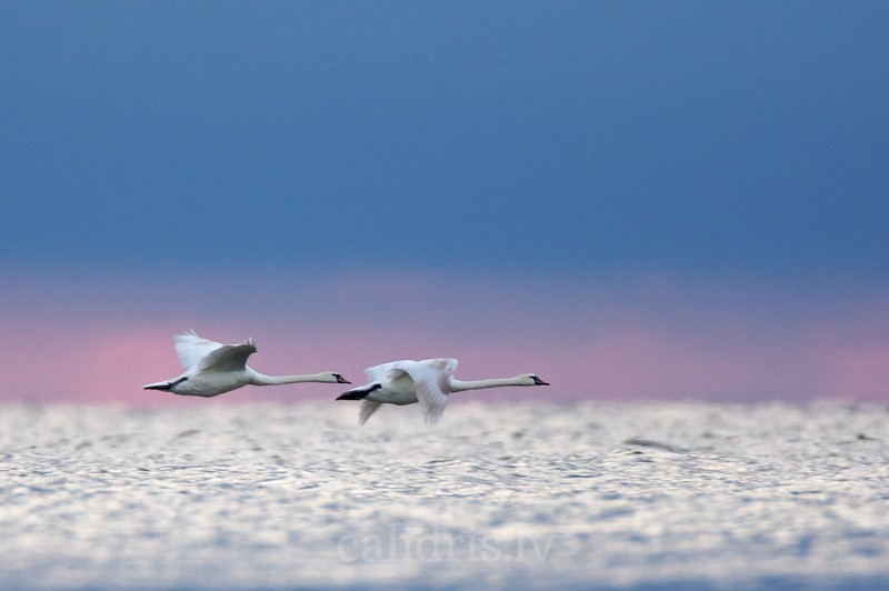 Mute Swans in flight over a sea