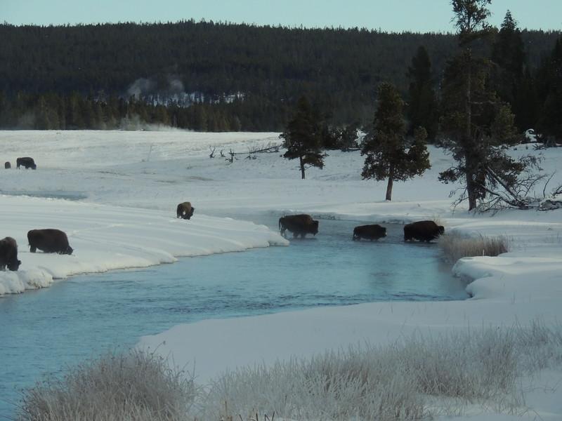 Bison Crossing.JPG