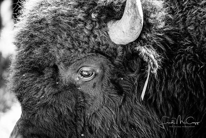 Dark Bison.jpg