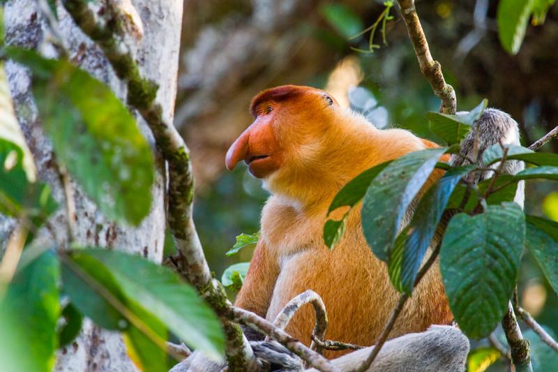 Male Proboscis monkey (Nasalis larvatus), Kinabatangan River, Sabah, Borneo.