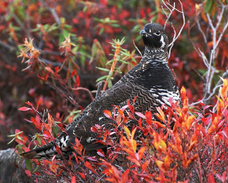 Tétras du Canada (mâle) - Spruce Grouse(male) - Falcipennis canadensis