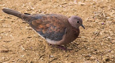 Laughing Dove (Lemoenduif)