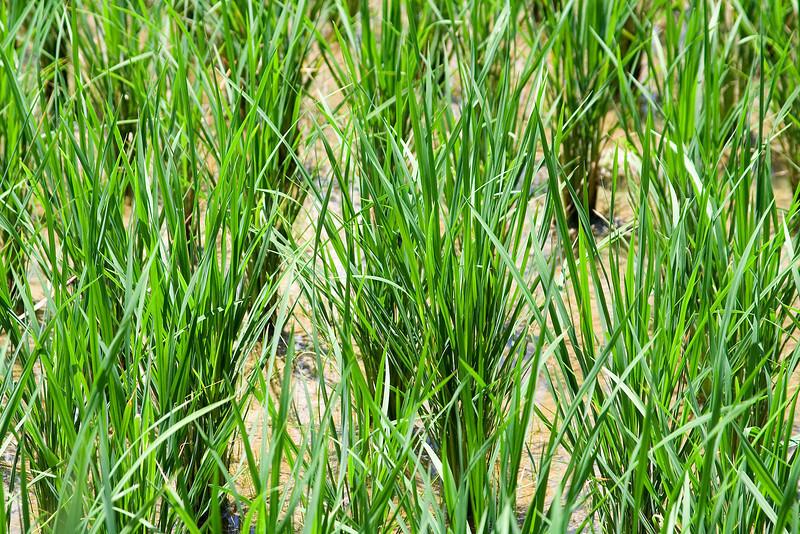 Rice Growing up Close.jpg