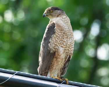 Nesting Coopers Hawk
