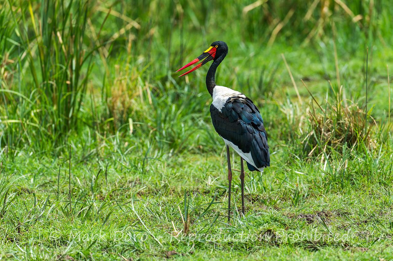 Saddle-billed Stork, Lake Manyara, Tanzania