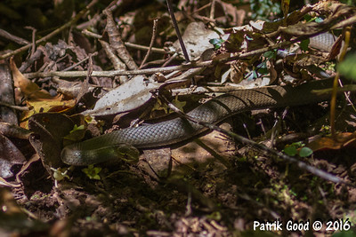 Black-bellied Swamp Snake