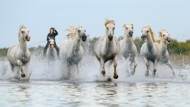 Camargue White Horses running hard in a blue water pond.