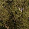 Gråhegre / Grey Heron<br /> Linnesstranda, Lier 12.8.2012<br /> Canon EOS 7D + EF 100-400 mm 4,5-5,6 L