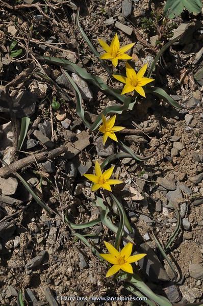 Tulipa turkestanica (yellow form)