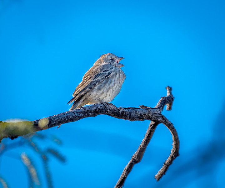 EH - House Finch Female #1