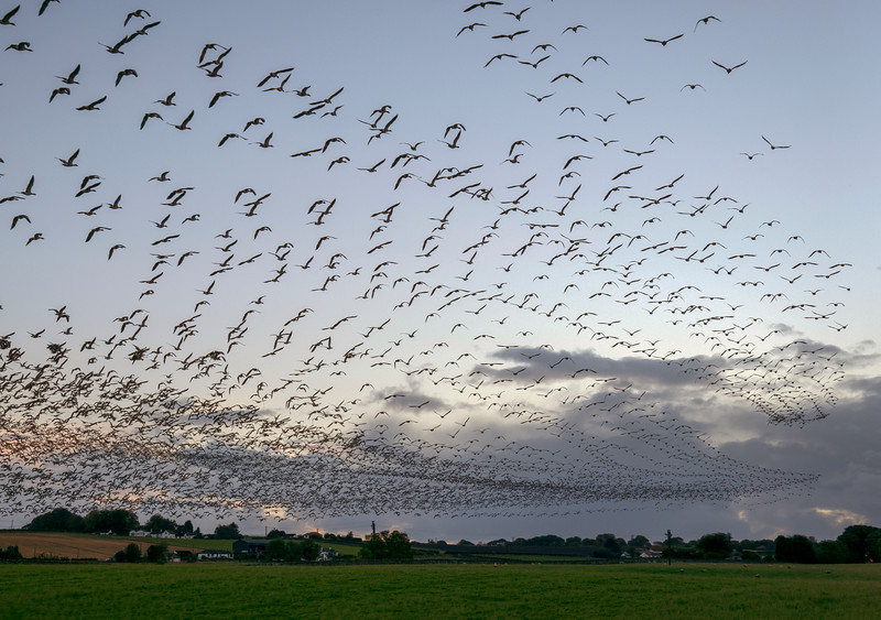 geese_compb_16th_oct2.jpg