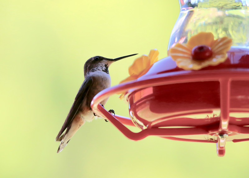 humming bird (7 of 55).jpg
