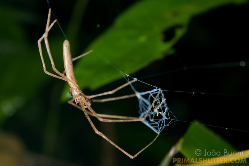 Net casting spider capturing prey