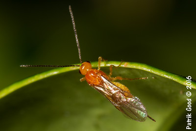 Fruit Fly Parasite Wasp