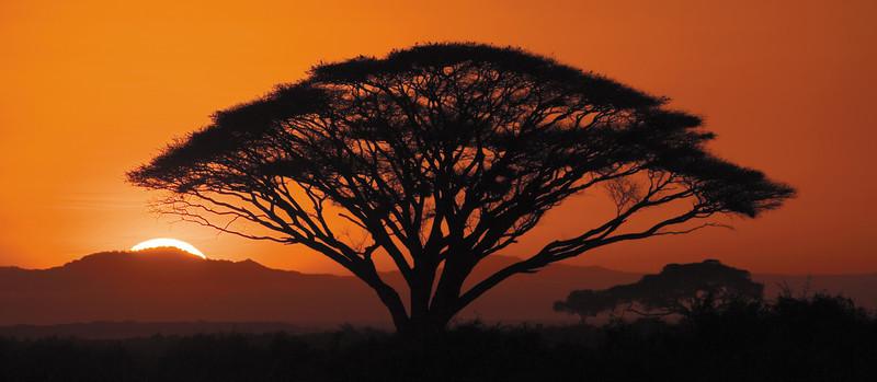 African Acacia Tree at Sunset
