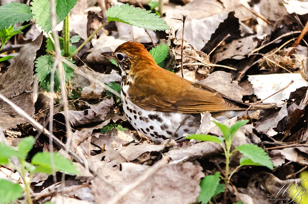 Thrushes, Mimids, Waxwings and Allies