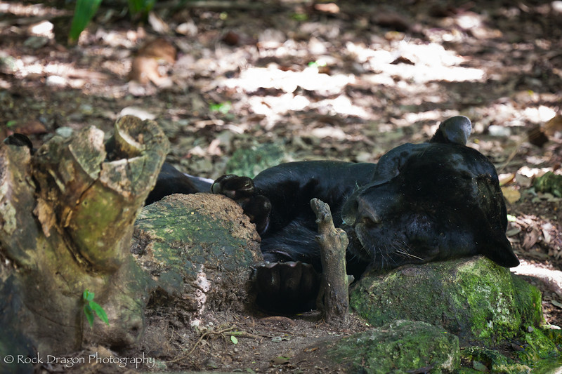 A Black Jaguar (Panther) at Xcaret Eco-Park in Mexico.