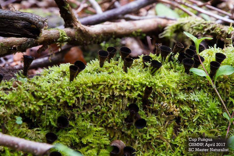Cup fungus.jpg
