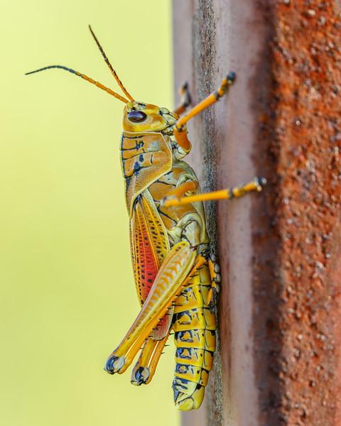 Lubber Grasshopper-3745.jpg