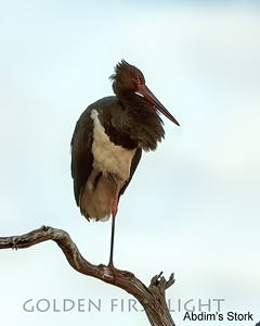 Abdim's Stork, Kenya
