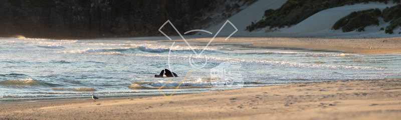 Panorama at Sandfly Bay showing courtship behaviour of New Zealand Sea Lions