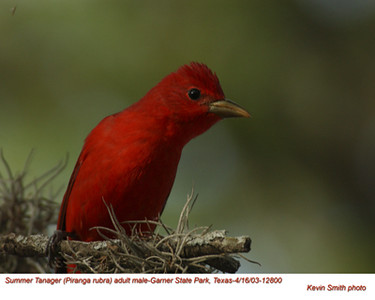 Summer Tanager M12800.jpg