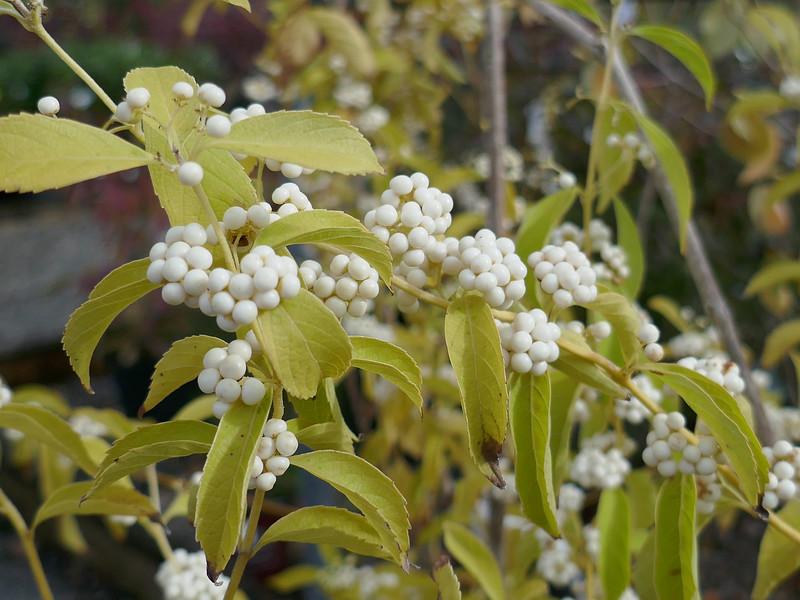 Callicarpa japonica f. albicacca