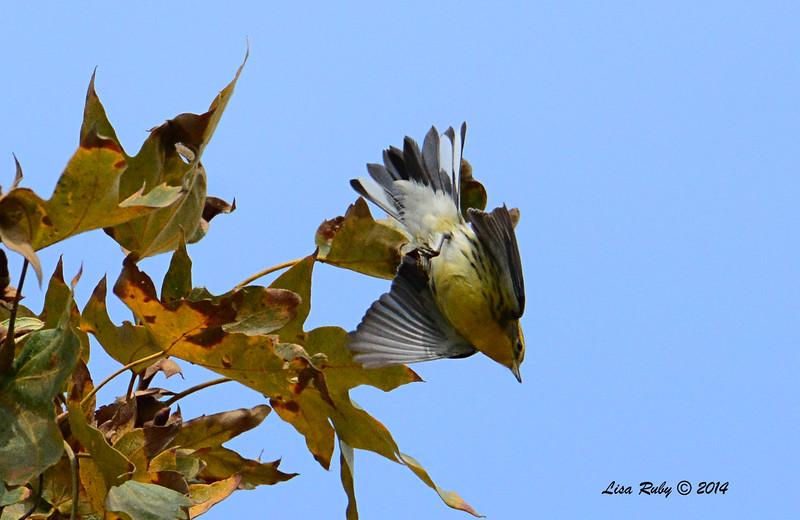 Blackburnian Warbler - 10/26/2014 - Nestor Park