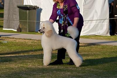 .Other Standard Poodles