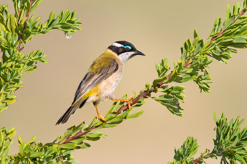 Black-chinned Honeyeater - Melithreptus gularis (Benalla, Victoria)